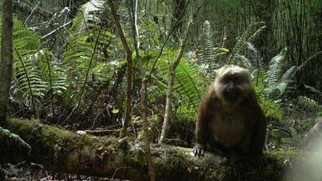 Macaca leucogenys / Cheng Li, Imaging Biodiversity Expedition / Tibet Forestry
